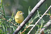 Yellow Warbler 2  Aug 2 2020