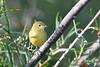 Yellow Warbler 2  Aug 2 2020