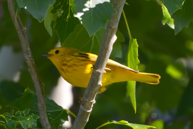 Yellow warbler in my backyard