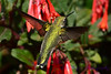 Ruby Throated Hummingbird in Fuschia 5