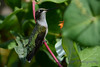Ruby Throated Hummingbird in Honeysuckle Trumpet Vine 52