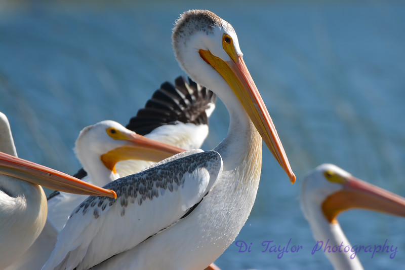 American White Pelican closeup 2  Aug 26 2017