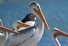 American White Pelican closeup 2  Aug 26 2017
