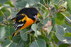 Baltimore Oriole Adult Male in Poplar Tree 4