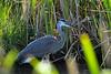 Great Blue Heron 8 Aug 2 2020