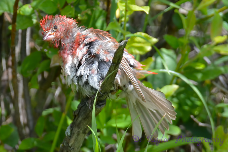 Purple Finch male all wet 4
