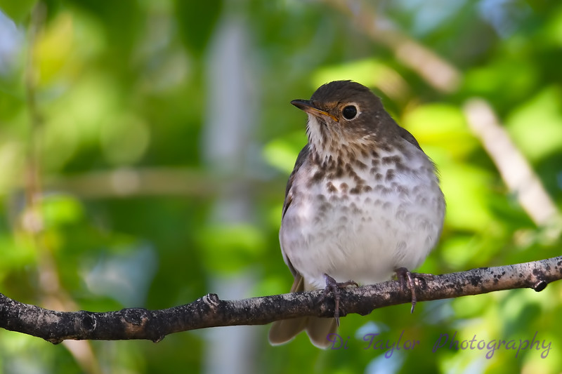 Hermit Thrush 2  19 May 2018