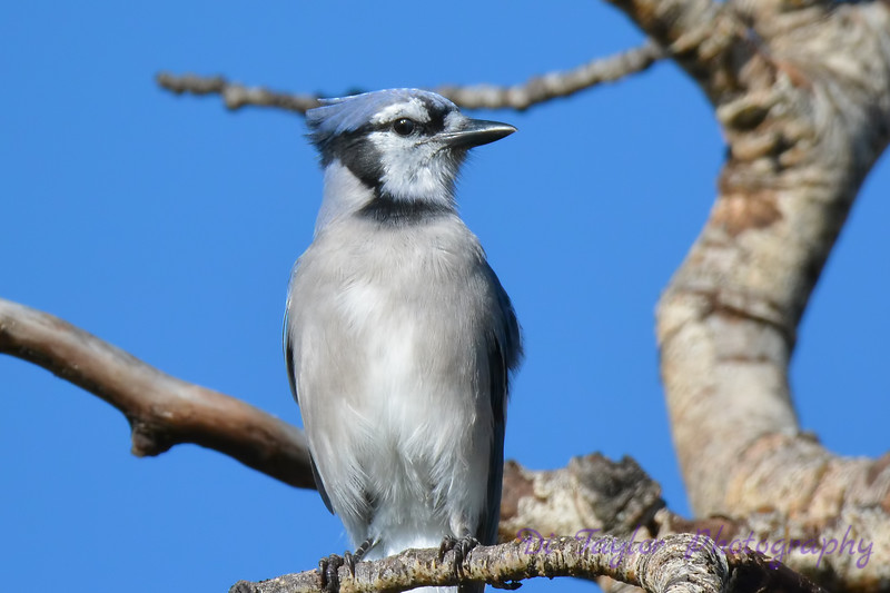 Blue Jay 2   Aug 21 2017