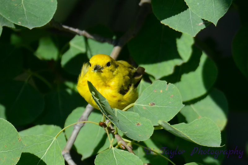 Yellow Warbler in tree 6