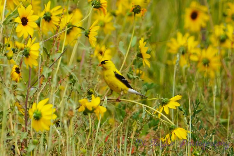 Goldfinch in Daisies 3