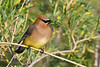 Cedar Waxwing 2  9 Jun 2019