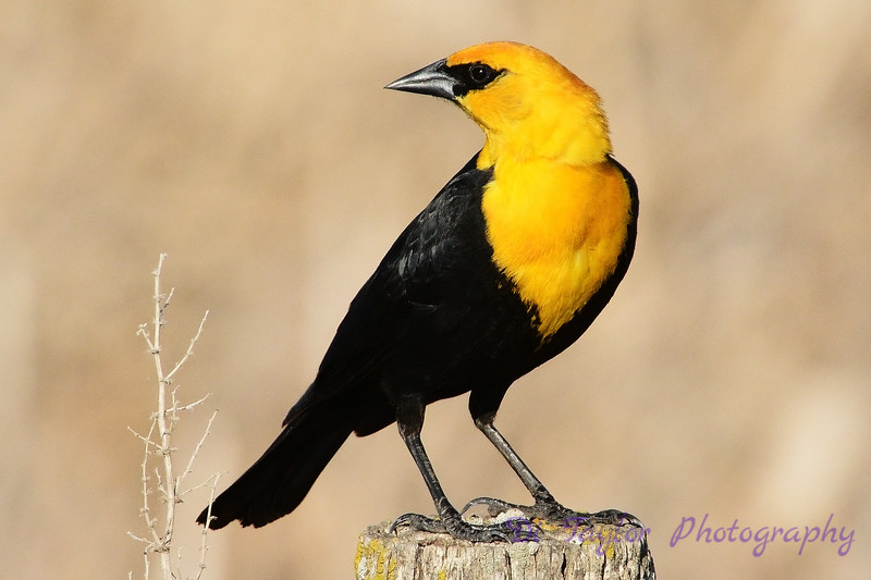 yellow headed blackbird 2