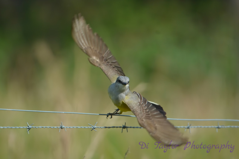 Western Kingbird taking flight