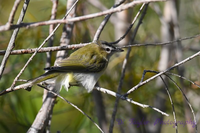 Red Eyed Vireo  6 Sep 7 2018
