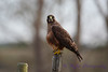Swainson Hawk May 6 2017