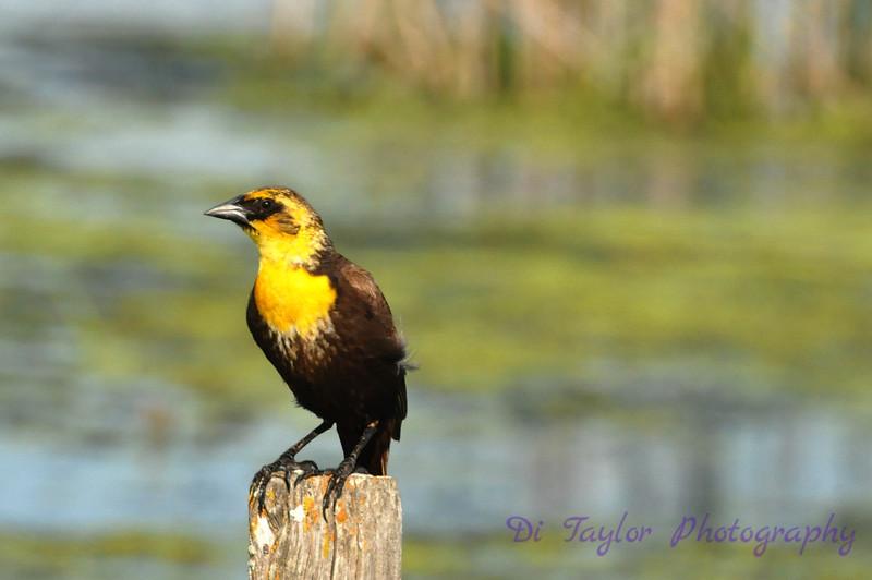 Yellow-headed blackbird femaile