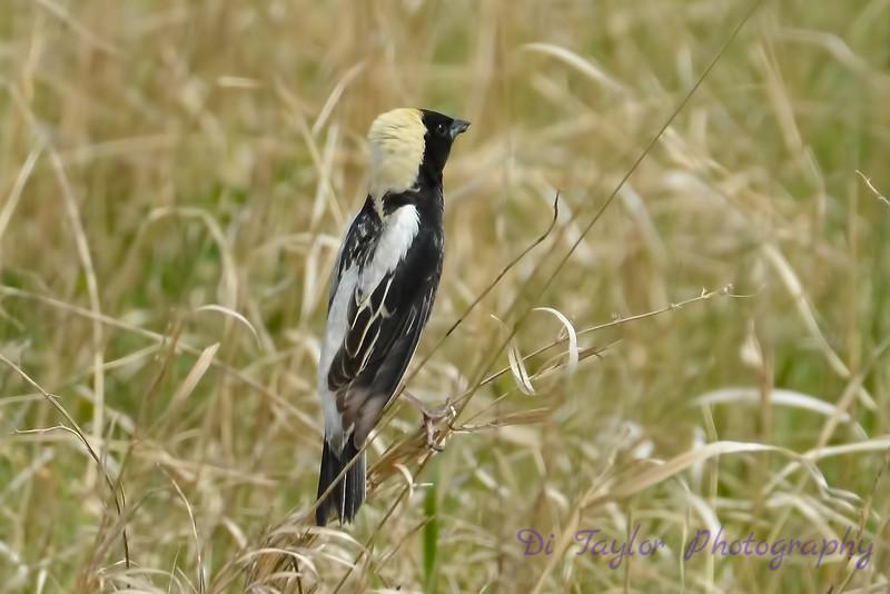 Bobolink male in grass