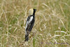 Bobolink male in grass