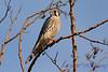 American Kestrel in tree