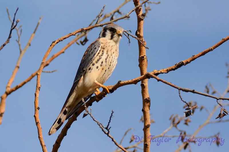 American Kestrel in tree 2
