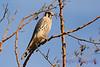 American Kestrel in tree 2