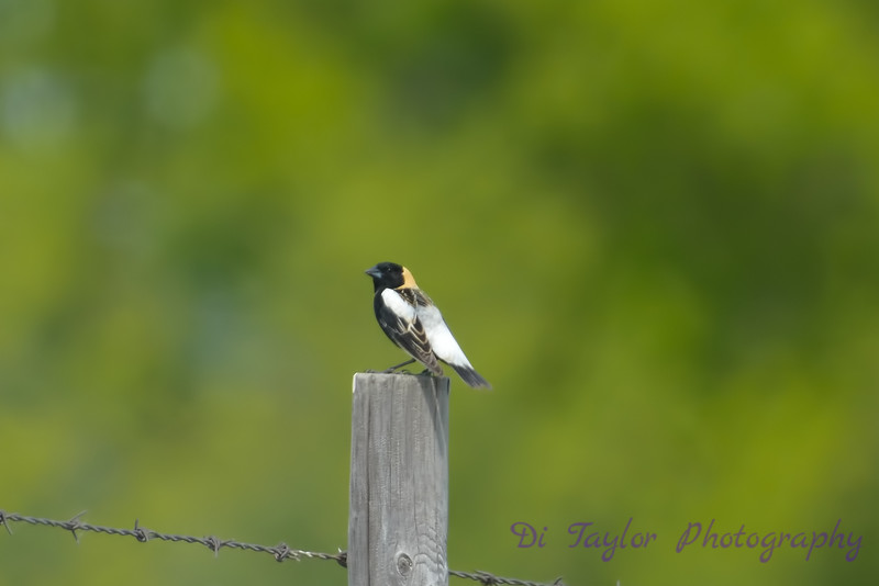 Bobolink breeding male 2