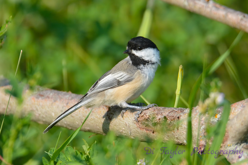 Black capped Chickadee 2  Aug 18 2017