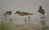 Sanderlings 2
