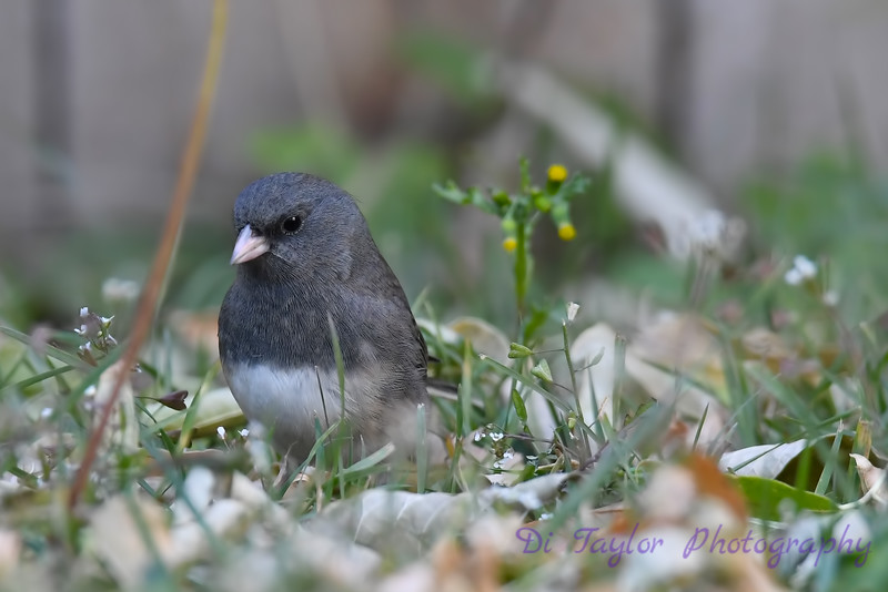 Dark Eyed Junco 2 Oct 2018