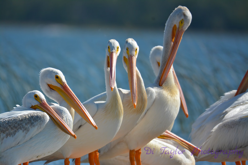 American White Pelicans 4  Aug 26 2017