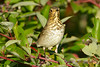 Hermit Thrush 3  Sep 17 2017