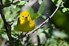 Yellow Warbler Male July 2 2018
