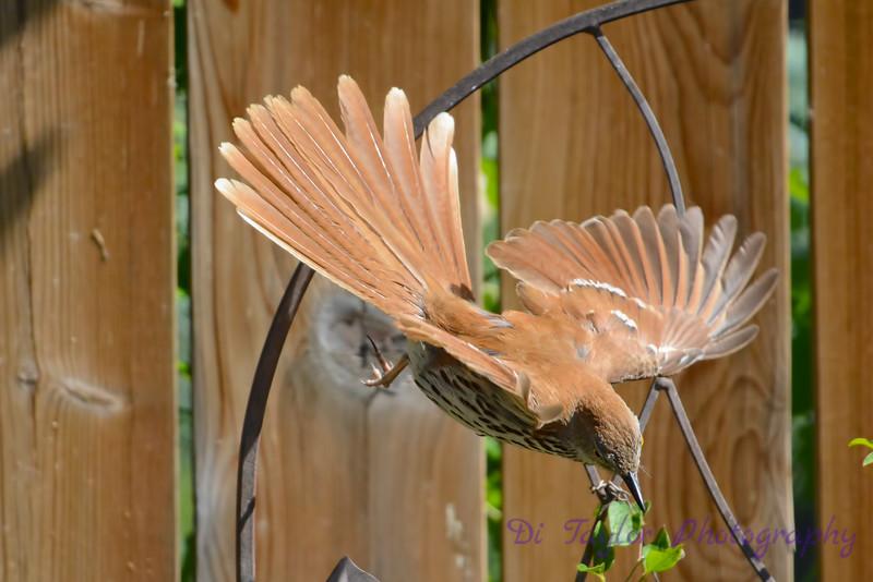 Brown Thrasher in flight