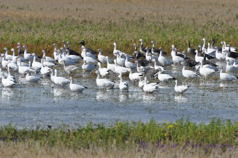 Snow geese migrating through, Saskatchewan