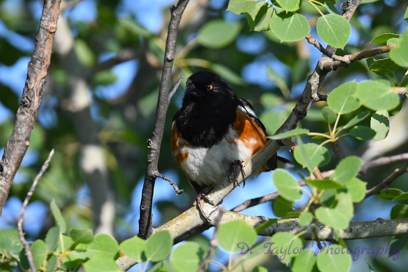 Spotted Towhee 3 7 Jul 2019