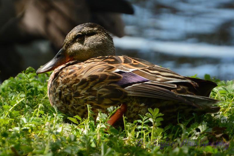 Female Mallard resting
