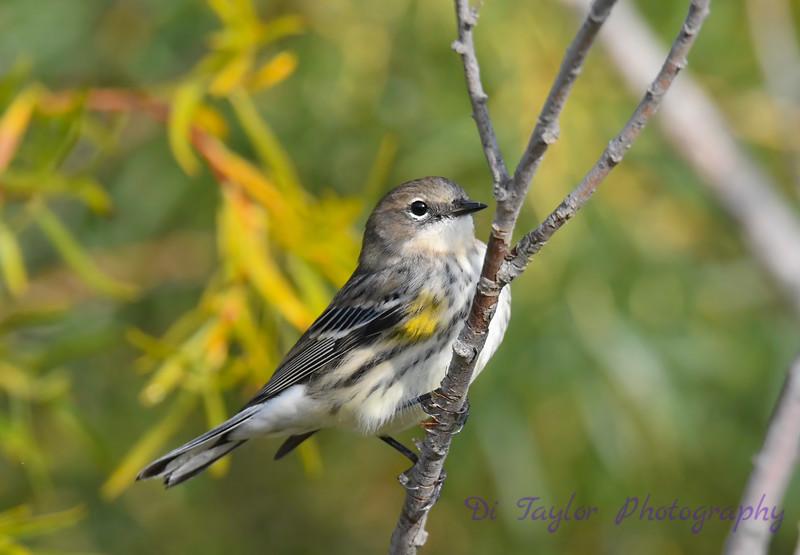 Yellow Rumped Warbler 3 Sep 13 2020