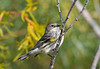 Yellow Rumped Warbler 3 Sep 13 2020