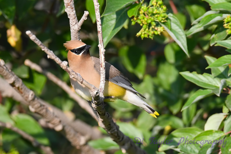 Cedar Waxwing 4 Aug 2019