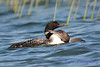 Common Loon adult and juvenile 7  Aug 26 2017