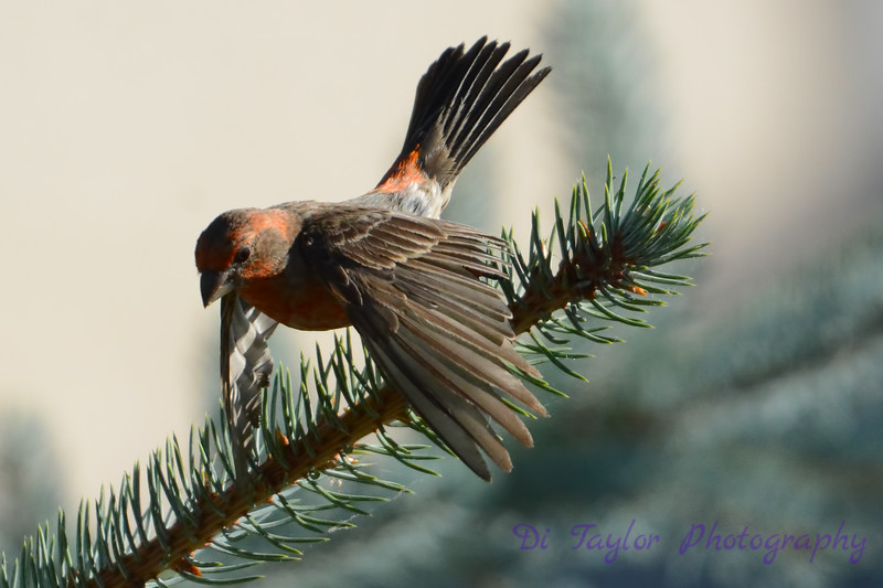 Male House Finch in pine tree
