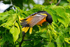 Baltimore Oriole with tail fanned
