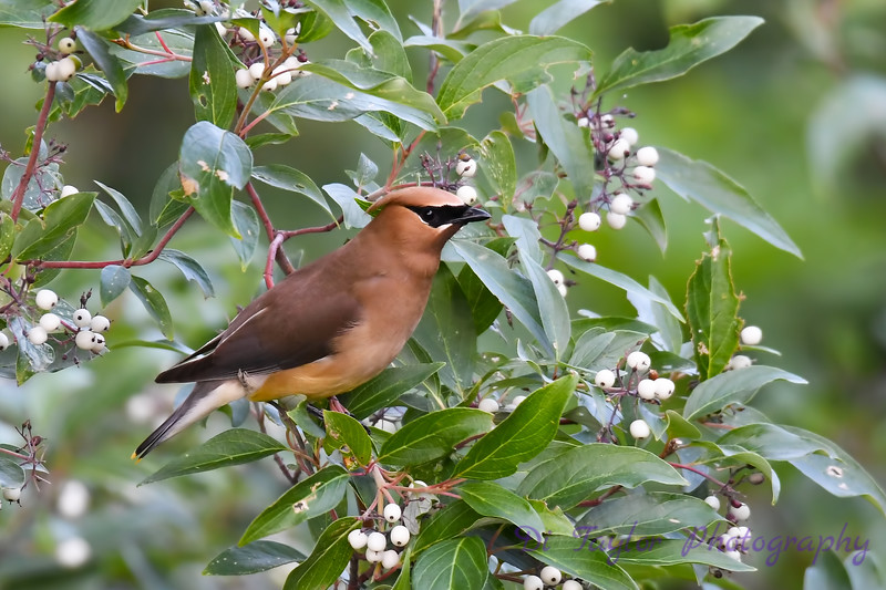 Cedar Waxwing July 13 2018