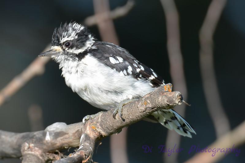 Downy Woodpecker juvenile  3  27 Jul 2017