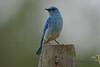 Mountain Bluebird  Adult Male  8 July 2017
