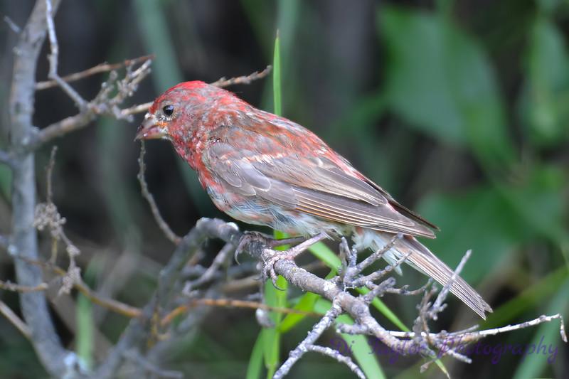 Purple Finch male 4