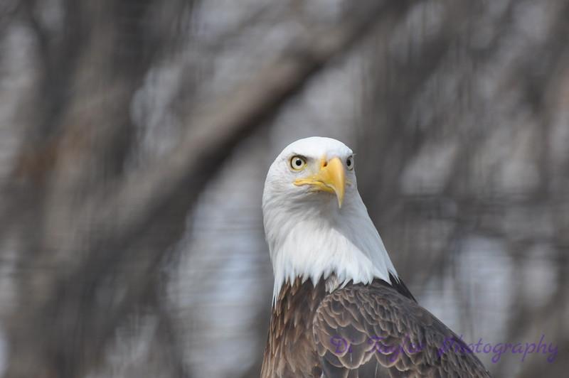 Bald eagle, Saskatchewan
