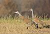 Sandhill Crane sensing danger