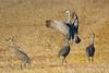 Sandhill Cranes posturing