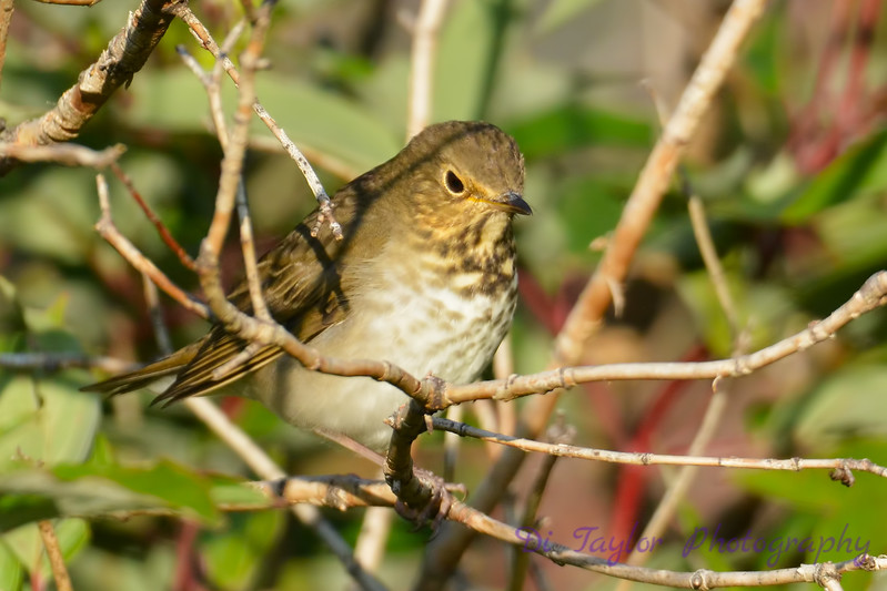 Hermit Thrush Sep 17 2017